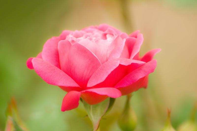 江汐公園 バラ見ごろ