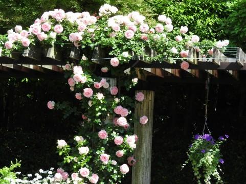 日本フルハーフのばら バラ見ごろ