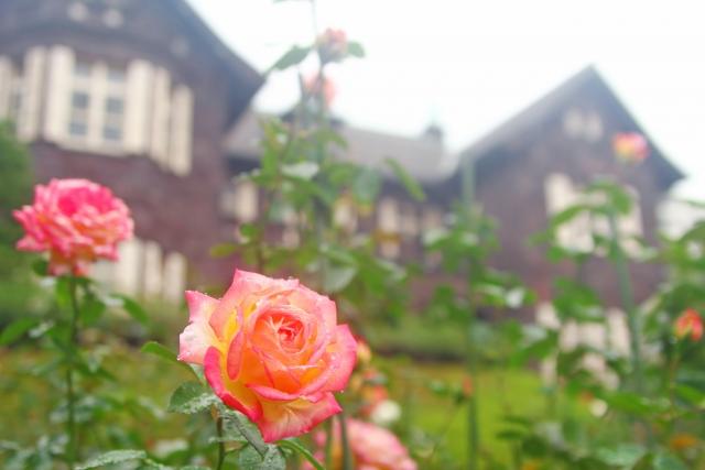 旧古河庭園 バラ見ごろ