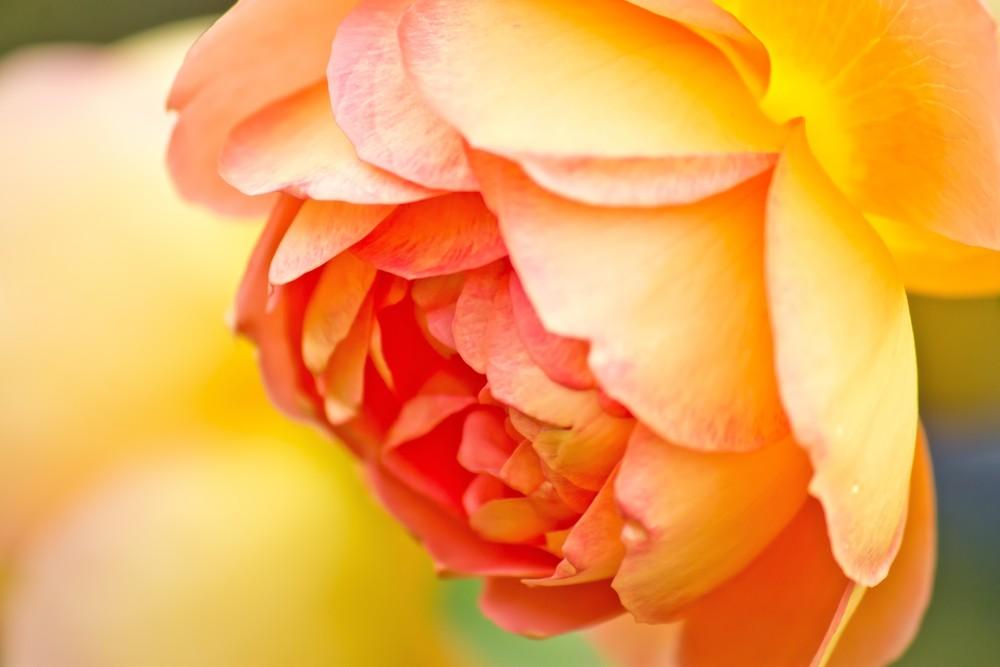 香愛ローズガーデン バラ見ごろ