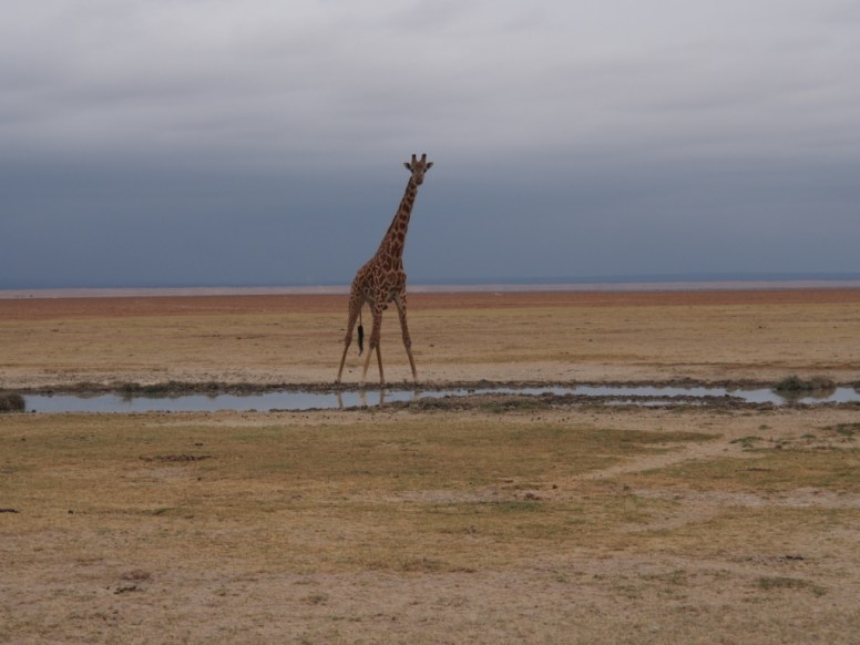 Giraffe in the Kenyan landscape