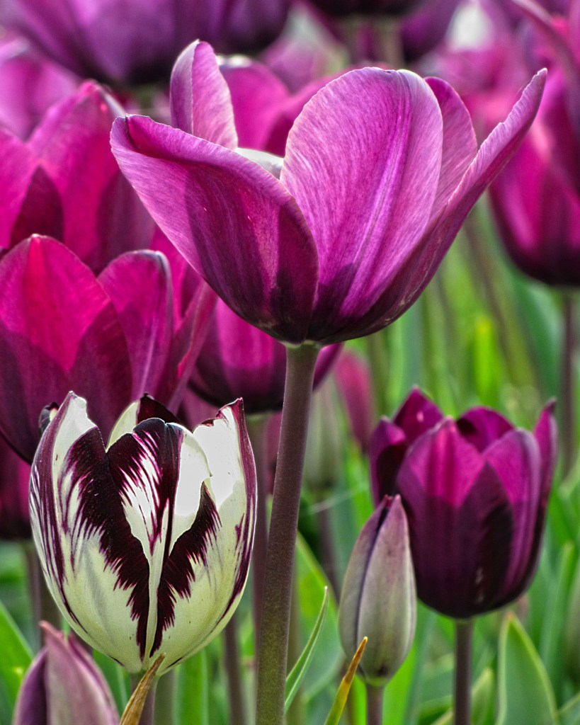 Purple and white and purple tulips at Woodburn Tuplip Festival in Woodburn Oregon