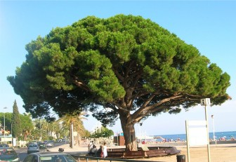 Mid-age Stone Pine Tree with umbrella canopy, in Spain. From http://en.wikipedia.org/wiki/Stone_pine