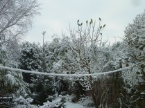 A snowy morning, and a garden full of bright green Parakeets hoping for some peanuts!