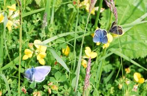 silver studded blue butterflies
