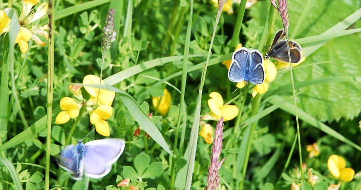 silvesilver studded blue butterflies