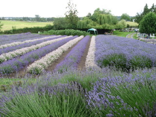 Purple Fields of Lavender