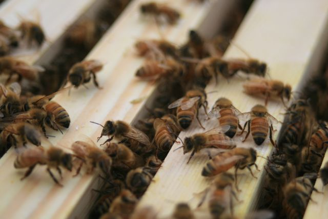 Bees on top bars of Warre Hive