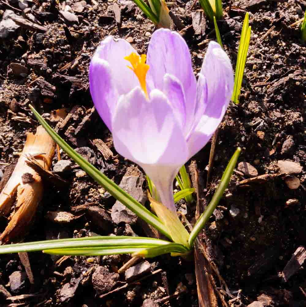 Barbolian Fields March Blooms: Crocus