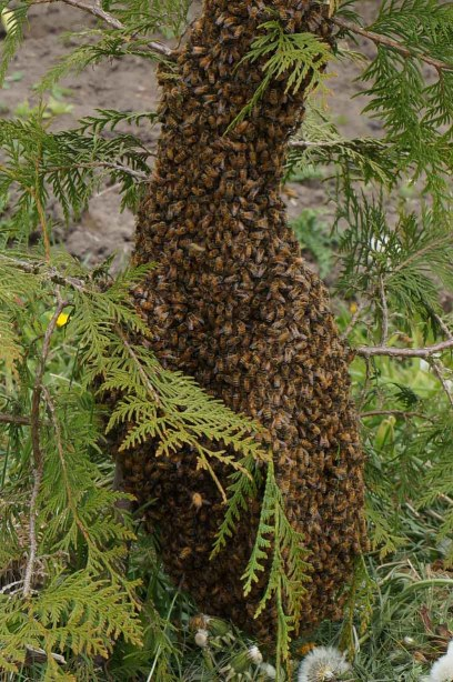 Bee swarm in cedar tree