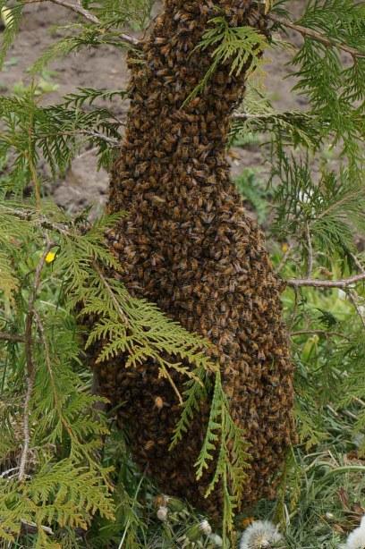 Bee swarm in cedar tree
