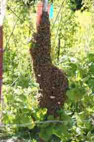 Swarm on fencepost