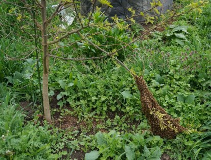 Swarm on Black Locust branch
