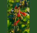 Hanging Mashua Root Flowers