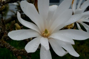 Open Magnolia blossom with raindrops