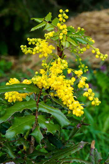 Mahonia, aka Oregon Grape