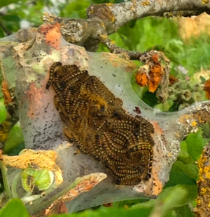 Tent Caterpillars on a Branch