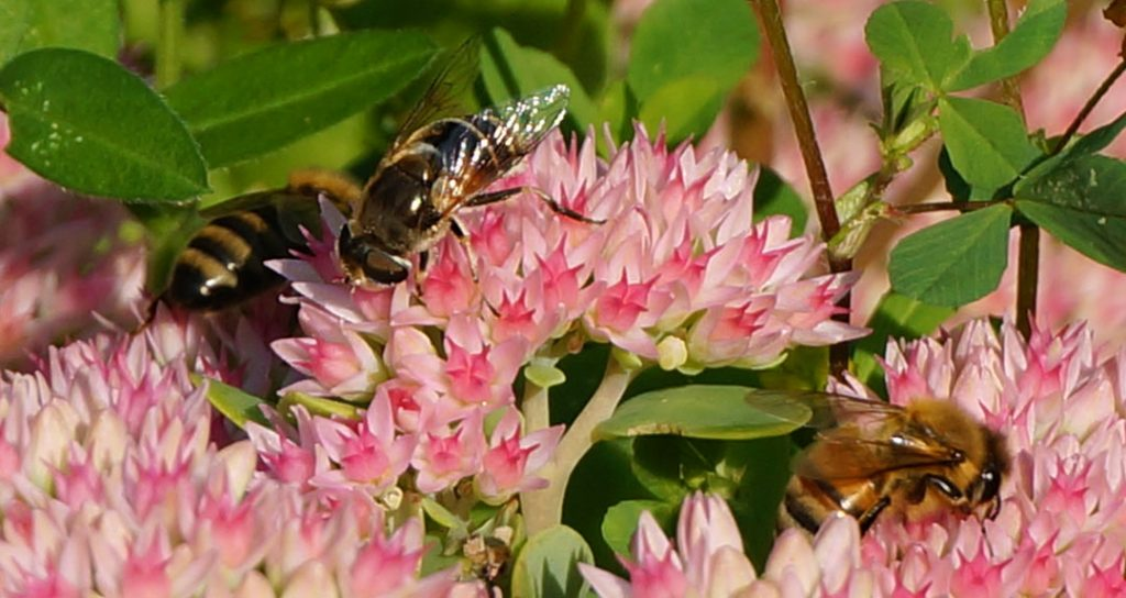 honeybees on sedum flowers