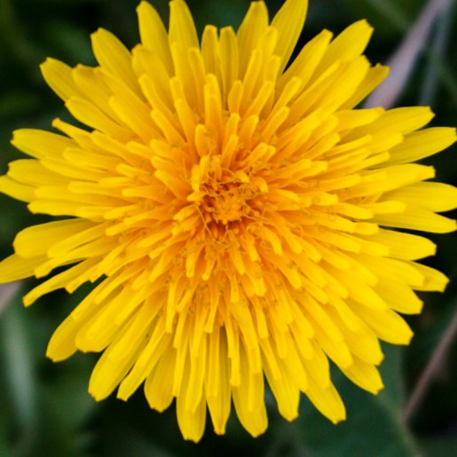 Dandelions shine like the sun!