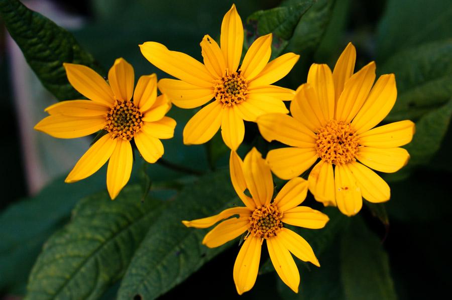 Sunchoke flowers