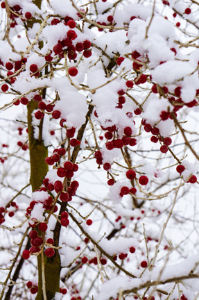 Autumn berries under snow
