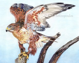 """""""Taking Flight"""" 14x11 in Faber-Castell Polychromos Colored Pencil on Fabriano Artistico Hot Press Watercolor Paper 2017.Original photo reference Wildlife Reference Photos. Copyright released. All images copyright Barb Sotiropoulos. All Rights Reserved."""