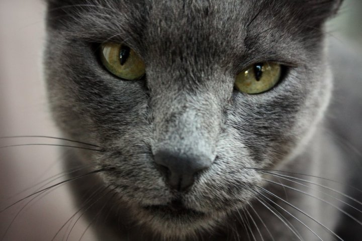 russian-blue-face-photo