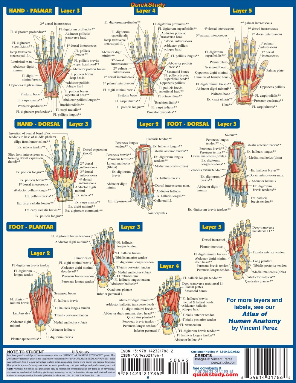 Quick Study QuickStudy Muscular System Advanced Laminated Study Guide BarCharts Publishing Academic Medical Guide Back Image