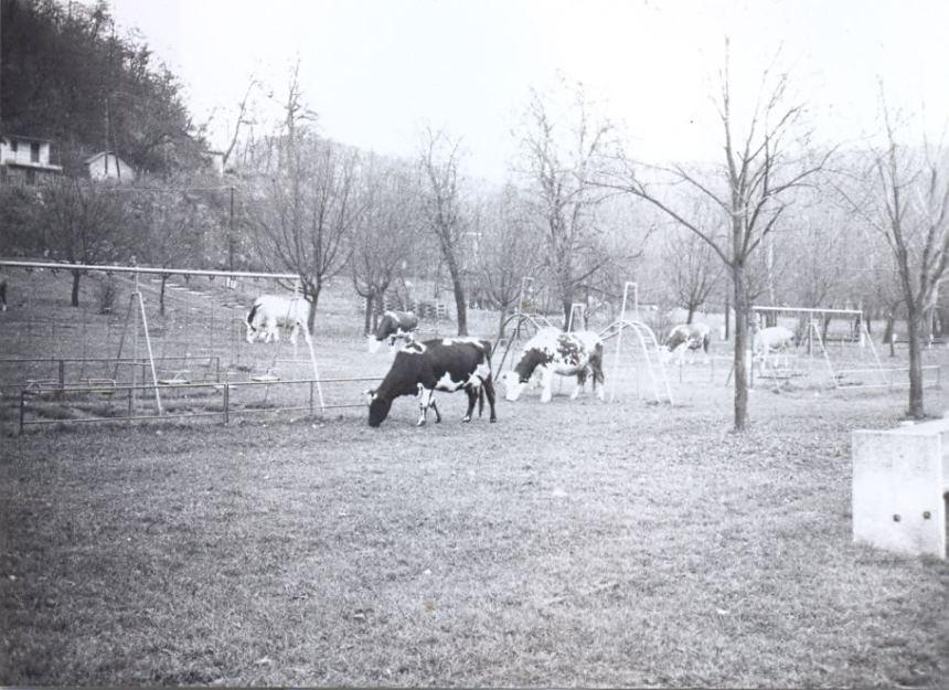 Egy kép abból az időből, amikor még tehenek legeltek a Csónakázó tónál. (Közzétette: Vágó Zoltán - KDK)