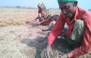 আটপাড়ায় আলু উৎপাদনে সমস্যা: প্রতিকারের খুঁজে কৃষকরা