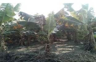 মানিকগঞ্জের চরাঞ্চলের পতিত জমিতে কলাচাষ