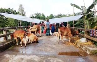 মানিকগঞ্জে পশুর হাটে বন্যার ধাক্কা গরু নিয়ে বিপাকে বানভাসীরা