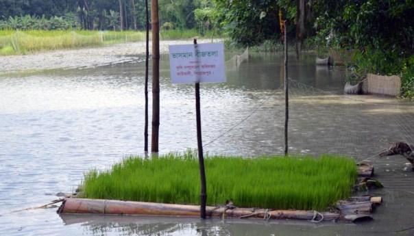 কাউখালীতে জলাবদ্ধ জমিতে আমনের ভাসমান বীজতলা