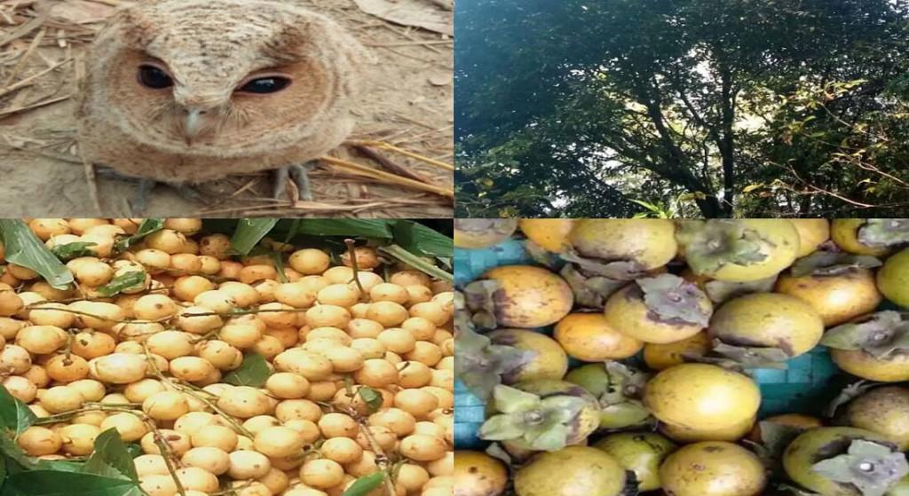 satkhira gab tree photo