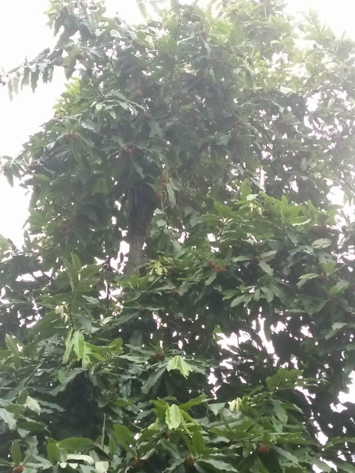 satkhira gab tree photo (2) (1)
