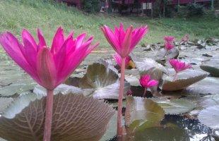 নান্দনিক সৌন্দর্যতায় লাল পদ্ম