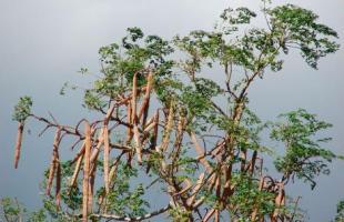 সুস্বাদু পুষ্টিকর সবজি সজনে ডাটা