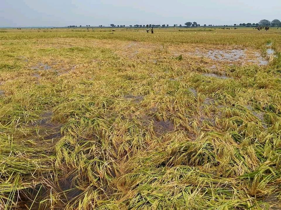Lonely ripe rice in Tanore land Photo 04.05.2019