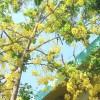 গ্রীষ্মের ফুল 'সোনালু'