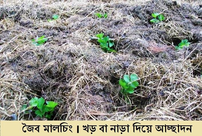 Organic Mulching-Barind tract