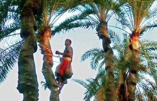 মানিকগঞ্জে ঐতিহ্য হারাতে বসেছে খেজুর রস