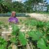 কেঁচো কম্পোস্ট ব্যবহারে কৃষক শাহ্জাহানের উৎপাদন খরচ কমেছে