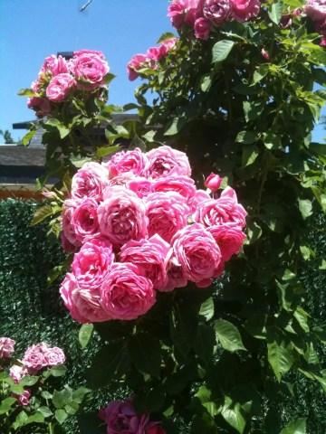 Poesía en Bardulias: las rosas de casa