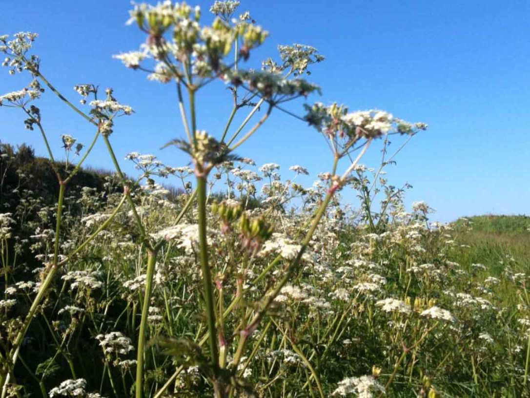 cow parsley in the wildflower meadow at barefoot glamping Cornwall