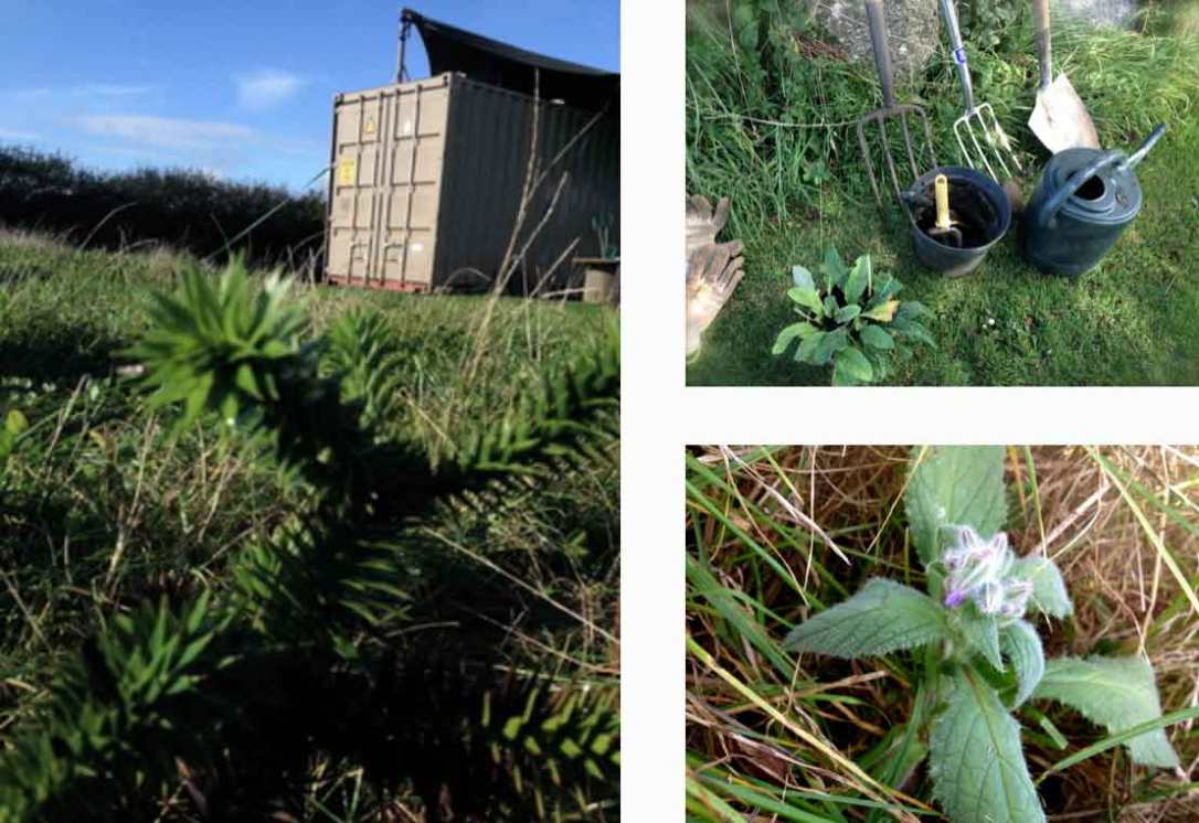 planting evening primrose, borage and a monkey puzzle tree near rusty the tin tent converted shipping container at barefoot glamping Cornwall