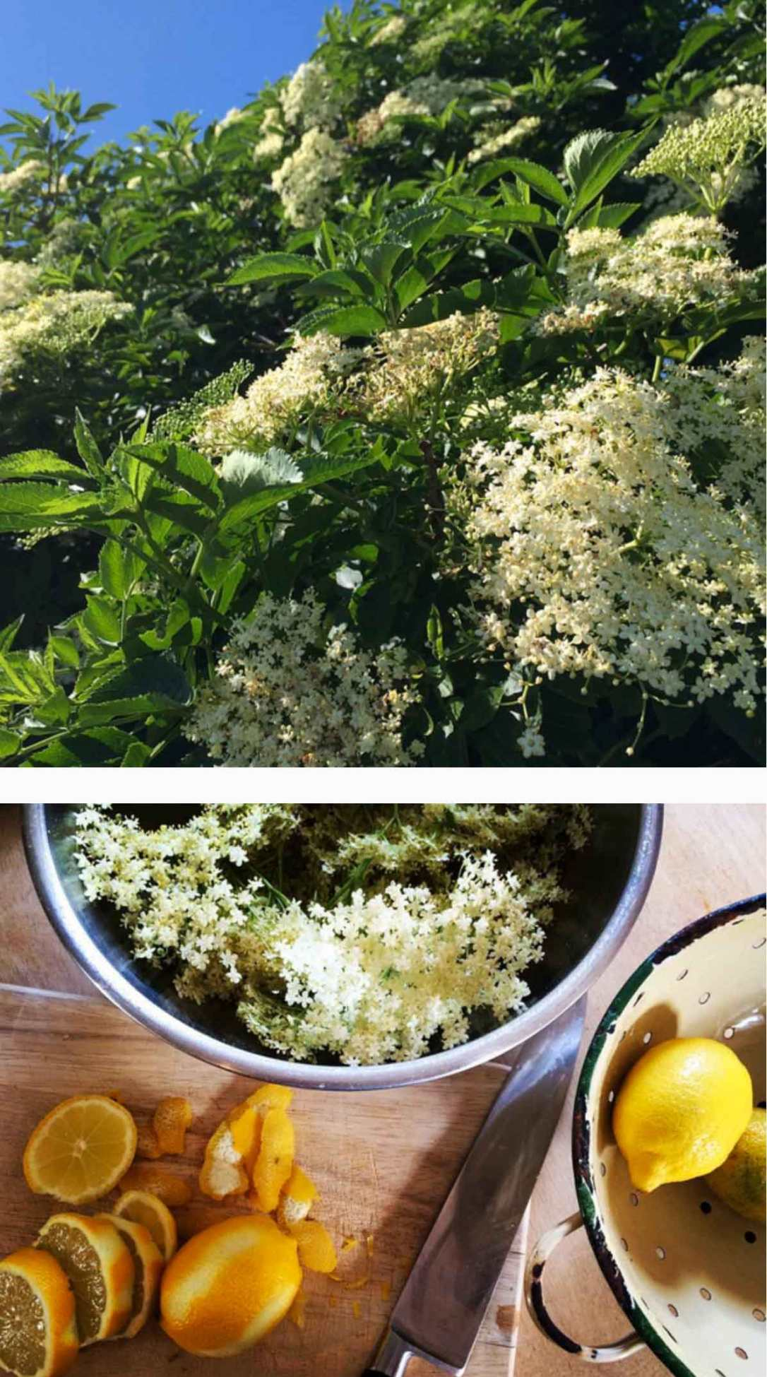 elderflowers in bloom and lemons ready to make elderflower cordial at barefoot glamping Cornwall