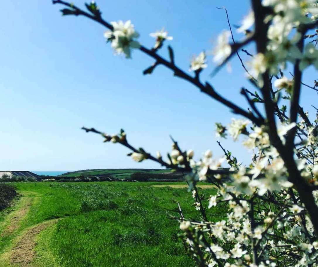 hawthorn blossom in the meadow looking towards the sea view at barefoot glamping Cornwall
