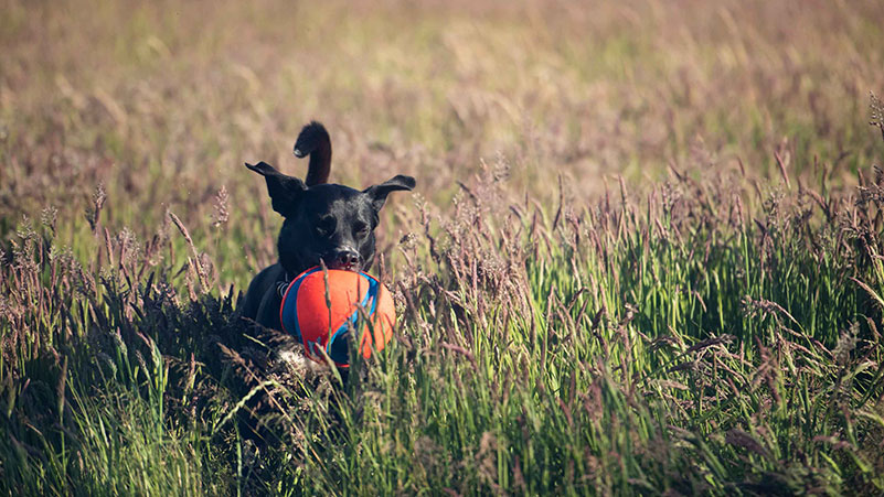Happy dog with ball in the meadow playing in the long grass