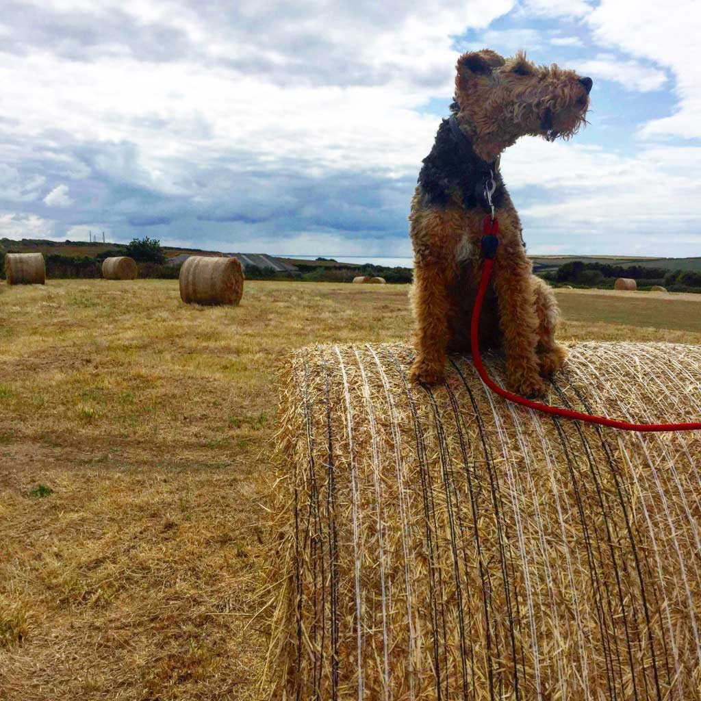 dog sitting on top of hay bale with sea in background