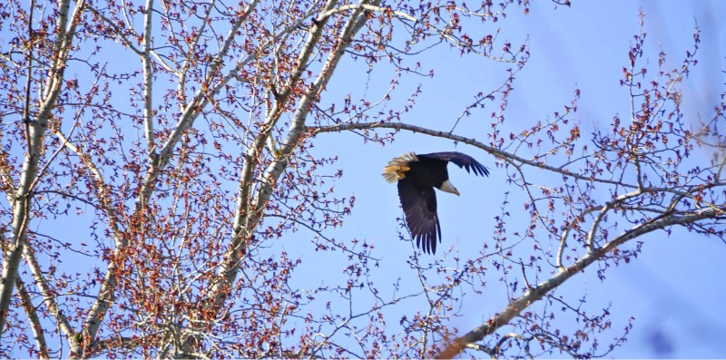 Bald Eagle Sammamish River Trail